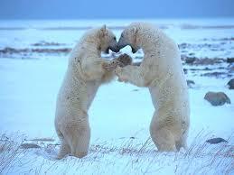 دب القطب الشمالي معلومات وصور فيديو Images?q=tbn:ANd9GcTMfj7wcK504BH3FKLo5mfb4U8yH_8HoyCy7QCNcCMr24_gcL7t
