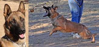 belgian malinois for sale sold police dogs for sale belgian malinois k 9 police dogs