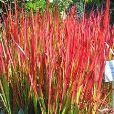 hakonechloa macra græs grasses and plants