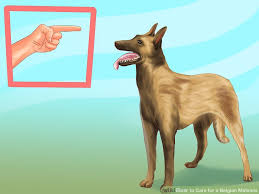 should i get a belgian tervuren how to care for a belgian malinois with pictures wikihow