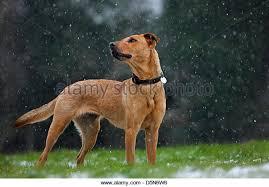 belgian sheepdog lab mix labrador mixed breed stock photos u0026 labrador mixed breed stock