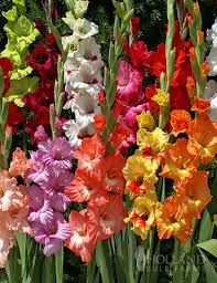 gladiolus flowers gladiolus bulbs