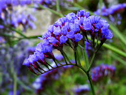 statice flowers statice flowers stock image image of dried purple umbel 43108595