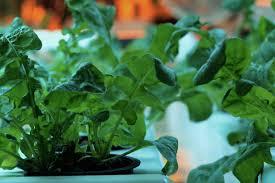aquaponics u0026 indoor salad greens u2022 elan does stuff