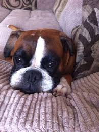 boxer dog crufts 2015 460 best boxer dogs images on pinterest boxer love boxers and
