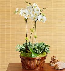 orchid plants for sale orchid plants archive a better bloom florist