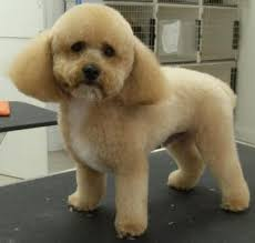 different styles of hair cuts for poodles mod dog boca grooming pictures doggie hair cuts pinterest