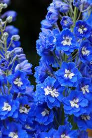 delphinium flowers delphinium delphiniums delphinium flowers