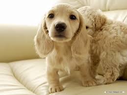 Wallpaper Dogs Dachshund Puppies Wallpaper Wallpapersafari