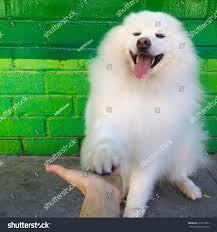 american eskimo dog vector american eskimo dog stock photo 629317097 shutterstock