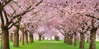 Cherry Blossom Tree Facts | 20 cherry blossom tree facts things you didn t know about cherry