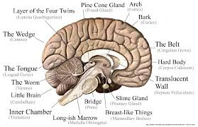 Gross Brain Anatomy An Etymological Map Of The Brain By Neuroskeptic English