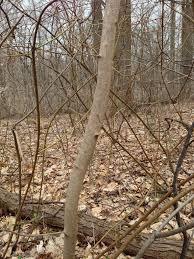 White Oak Tree Bark Sugar Maple Bark And Trunk Young Specimen The Sanguine Root