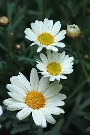 477 best daisy field images on pinterest daisy flowers flowers
