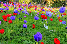 Flower Area - wild flowers in the holy land