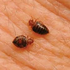 can you see bed bugs with a black light bed bugs court pest control