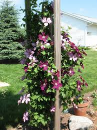clematis trellis on wall u2013 outdoor decorations