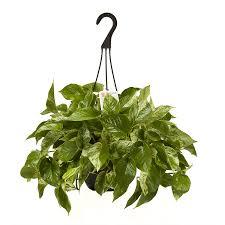 shop exotic angel plants 3 quart hoya hanging basket