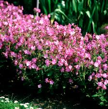 fleurs vivaces rustiques silène planter et cultiver u2013 ooreka