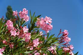 Pink Spring Flowering Shrubs - best flowering shrubs for spring savatree