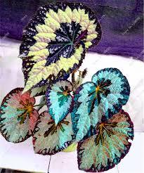Cheap Flower Seeds - online get cheap flowers seeds begonia aliexpress com alibaba group