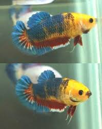 70 best betta fish images on betta fish live fish and