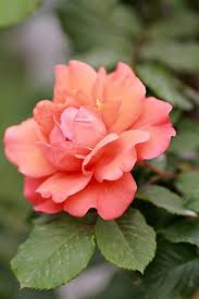 254 best my grandmothers love of roses images on pinterest