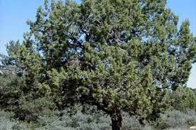 trees guaranteed to grow in northern utah trees we sell pine trees