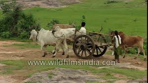 indian cart good old fashioned indian bael gadi or bullock cart with village