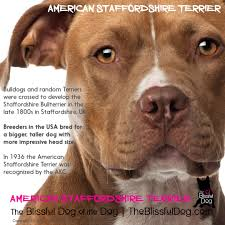 american pitbull terrier akc do you know the difference between the american staffordshire
