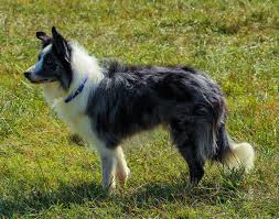 australian shepherd working free images working grass canine border collie dog breed