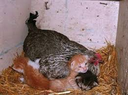 Hen Meme - a mother hen and her kittens animals know your meme