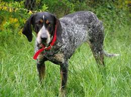bluetick coonhound with cats spotlight the bluetick coonhound