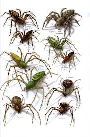 Brown Recluse Map Venomous Spiders Of North America Brown Recluse Spider Population