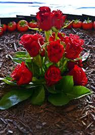 real flowers flowers gulab photo essay on flower in u gulab