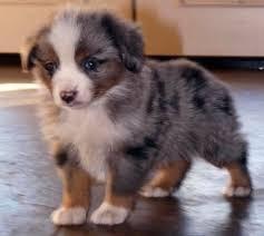 australian shepherd puppy 25 best toy australian shepherd ideas on pinterest australian