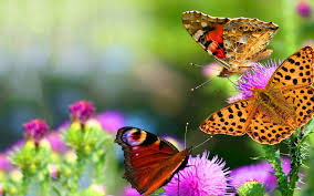 butterflies on flowers images clipart collection