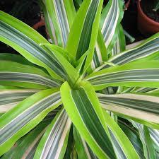 plant identification closed large heart shaped leaf plant