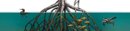 mangroves may be one of nature s best defenses against a changing