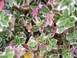 All Year Flowering Shrubs - 90 best decorative shrubs images on pinterest evergreen shrubs