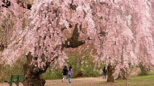 the geisha s flower cherry blossom magical properties and uses