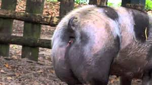 big pig pooping youtube
