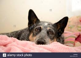australian shepherd blue heeler blue heeler dog stock photos u0026 blue heeler dog stock images alamy
