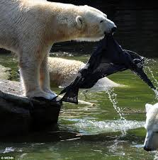 pictured shocking moment polar bear attacks woman climbed
