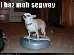 Weeeeeeeeeee 43 Best Chihuahuas Images On Pinterest Animals Chihuahuas