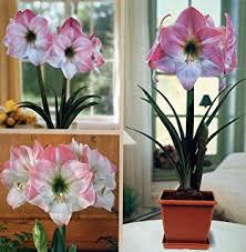 amaryllis growing kit great gift bulb