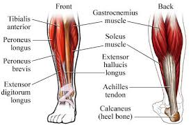 Human Body Muscles Images Crural Muscles Human Anatomy