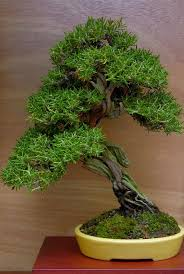 8472 best bonsai images on pinterest bonsai trees gardening and