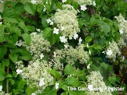 Climbing Plants For North Facing Walls - plants in our garden u2013 the gardening register