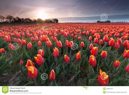 Tulip Field Sunrise Over Red Tulip Field Stock Photo Image 53882758